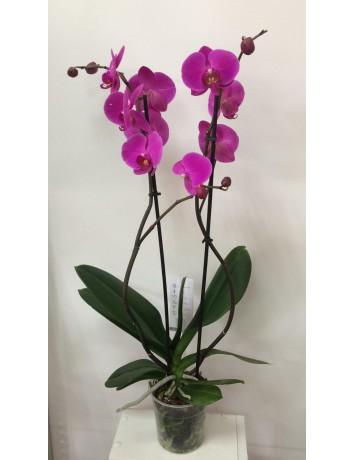 Орхидея Фаленопсис двухствольная