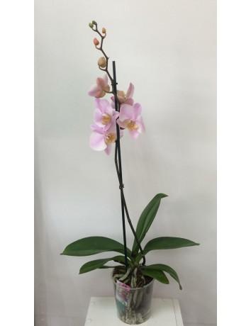 Орхидея Фаленопсис одноствольная